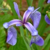 Northern Blue Flag Iris