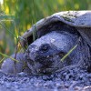 Giant Snapping Turtle