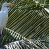Egret in Palm Tree