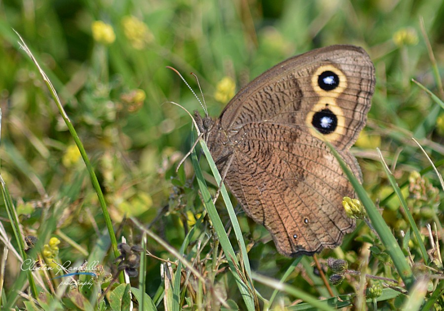 Brown Eyed Butterfly