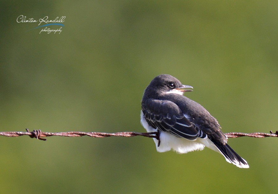 Young Flycatcher