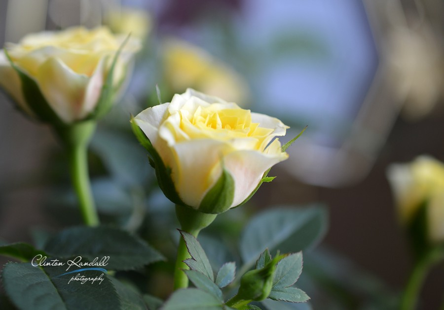 Yellow Rose and Bokeh
